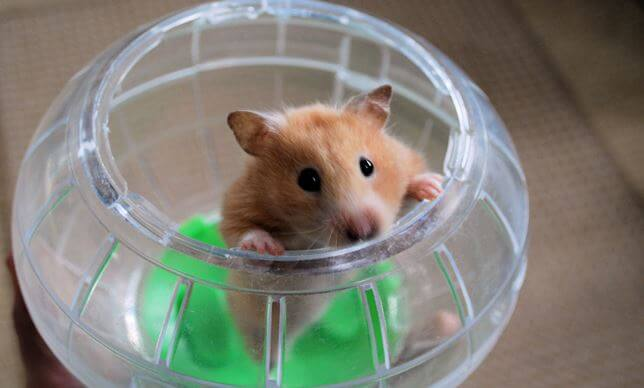 Proper care for a hamster ball