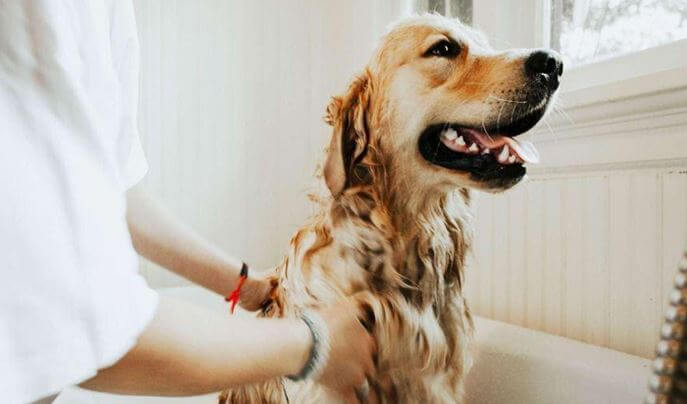 Dog bath - one of the key tasks in dogs hygiene
