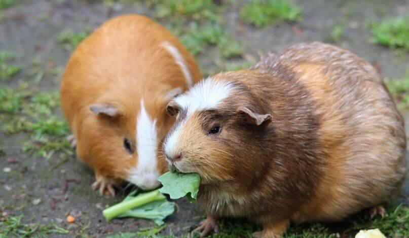 FAQs on Guinea Pig Water Bottles