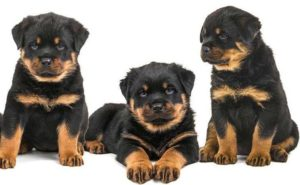 The Answers To Your Rottweiler Questions