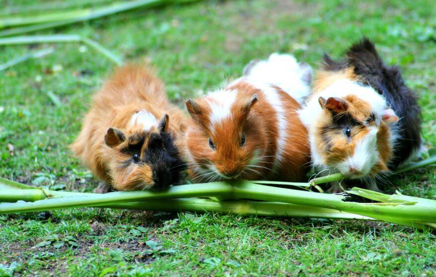 Best Guinea Pig House
